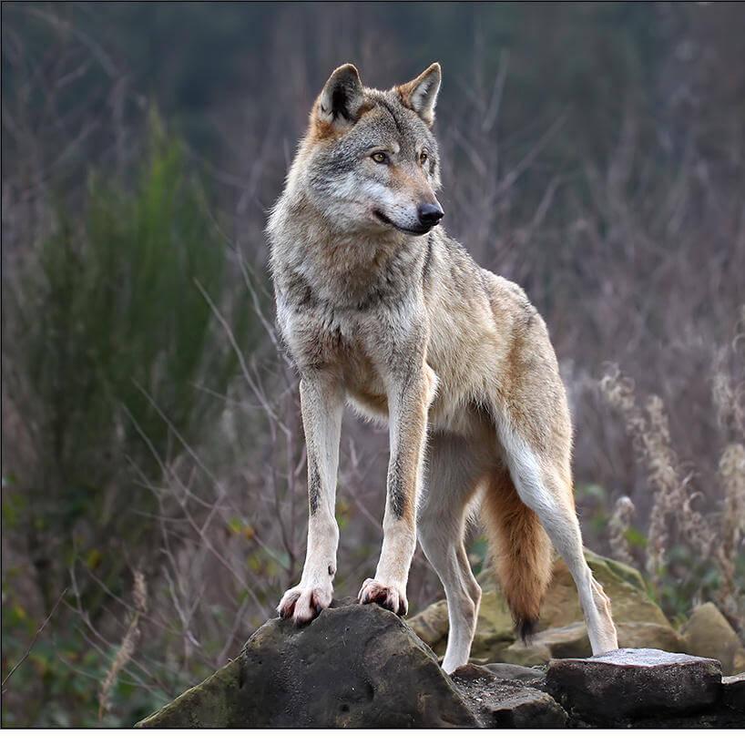 Exceptionnel Abruzzolive.tv - 'Crepi il lupo', anzi 'In bocca al lupo': tutti  KG42